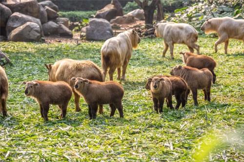 继去年新生6只后再创繁育奇迹,长隆再添7只国宝金毛羚牛宝宝