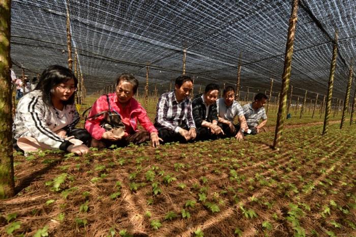 首次获批国家植物新品种权的三七品种成功选育