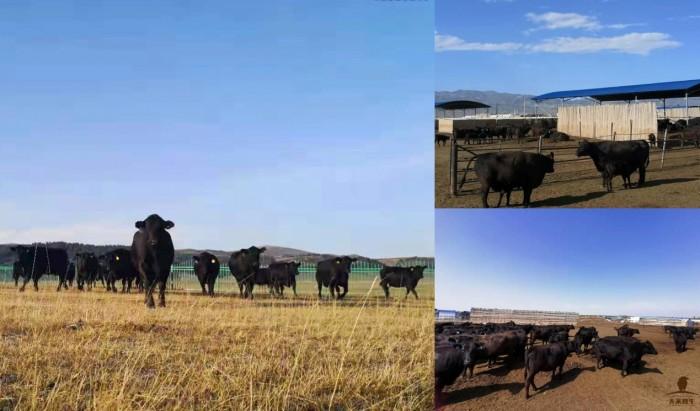 今晚八点,万众瞩目,世界共享中国牛!让世界运动员流口水的天莱香牛