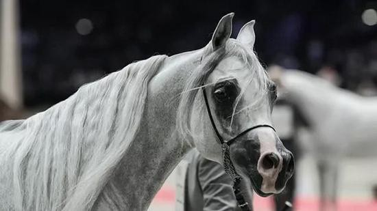 香港首个亚洲阿拉伯马鉴赏会,一睹世界级马种风采