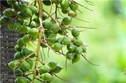 槟榔有着前景广泛的药用发展价值