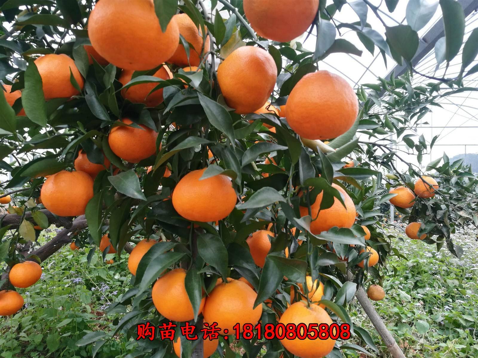 重庆明日见柑橘前景怎么样?
