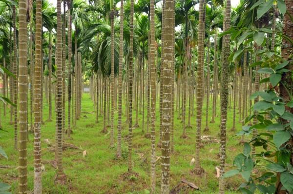 万宁的槟榔是海内当之无愧的最好槟榔