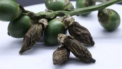 宋代海南便开始大规模种植槟榔