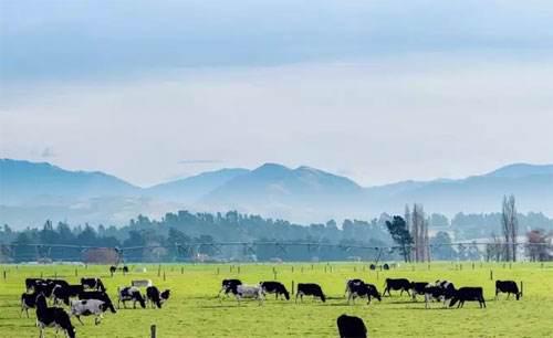 荷仕兰奶源地揭秘-黄金牧场新西兰