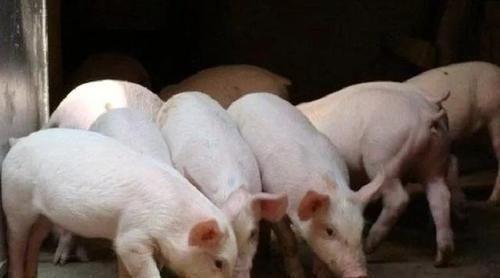 养猪政策利好,猪尔健助力扶持