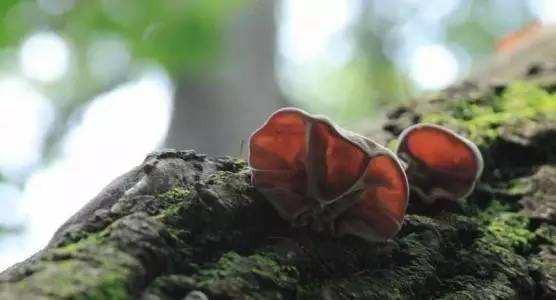 一款好森林木耳的营养价值到底有多大?