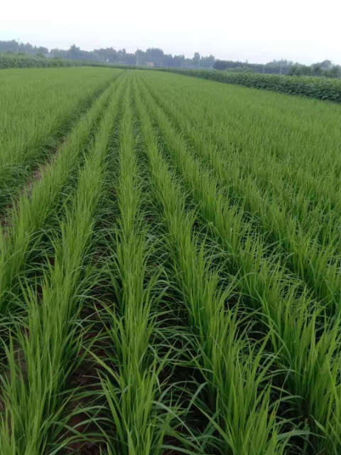 高光林碳氢旱稻研发成功,亩产最高可达