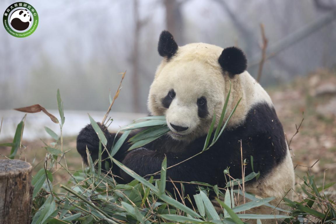 陕西将建设秦岭大熊猫科学公园 位于长安区滦镇(图3)
