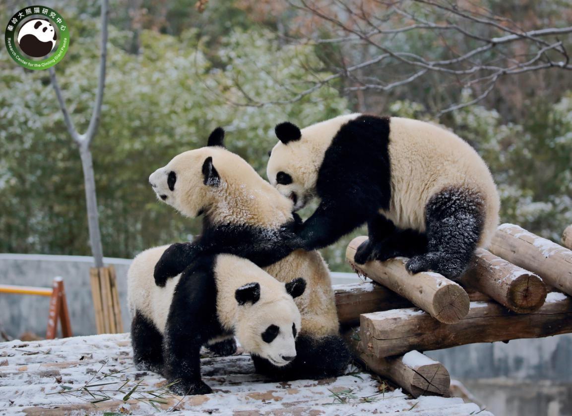 陕西将建设秦岭大熊猫科学公园 位于长安区滦镇(图4)