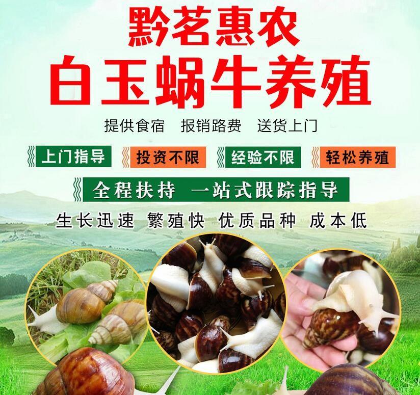 贵州黔茗惠农白玉蜗牛种类齐全,规模不限协助销售,总部全程扶持