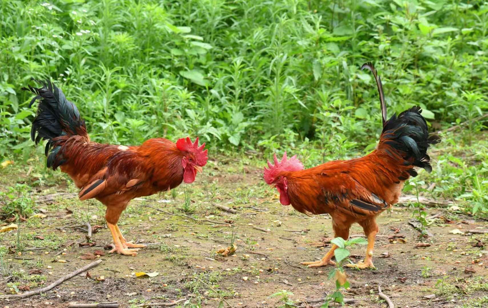不远千里 只为那只住在仙境的鸡