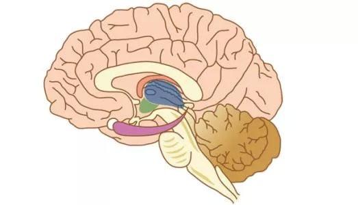 小脑图片0.jpg